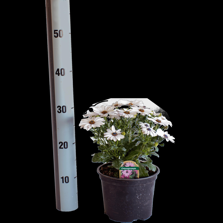 Bild: Bornholmmargerite (Osteospermum)