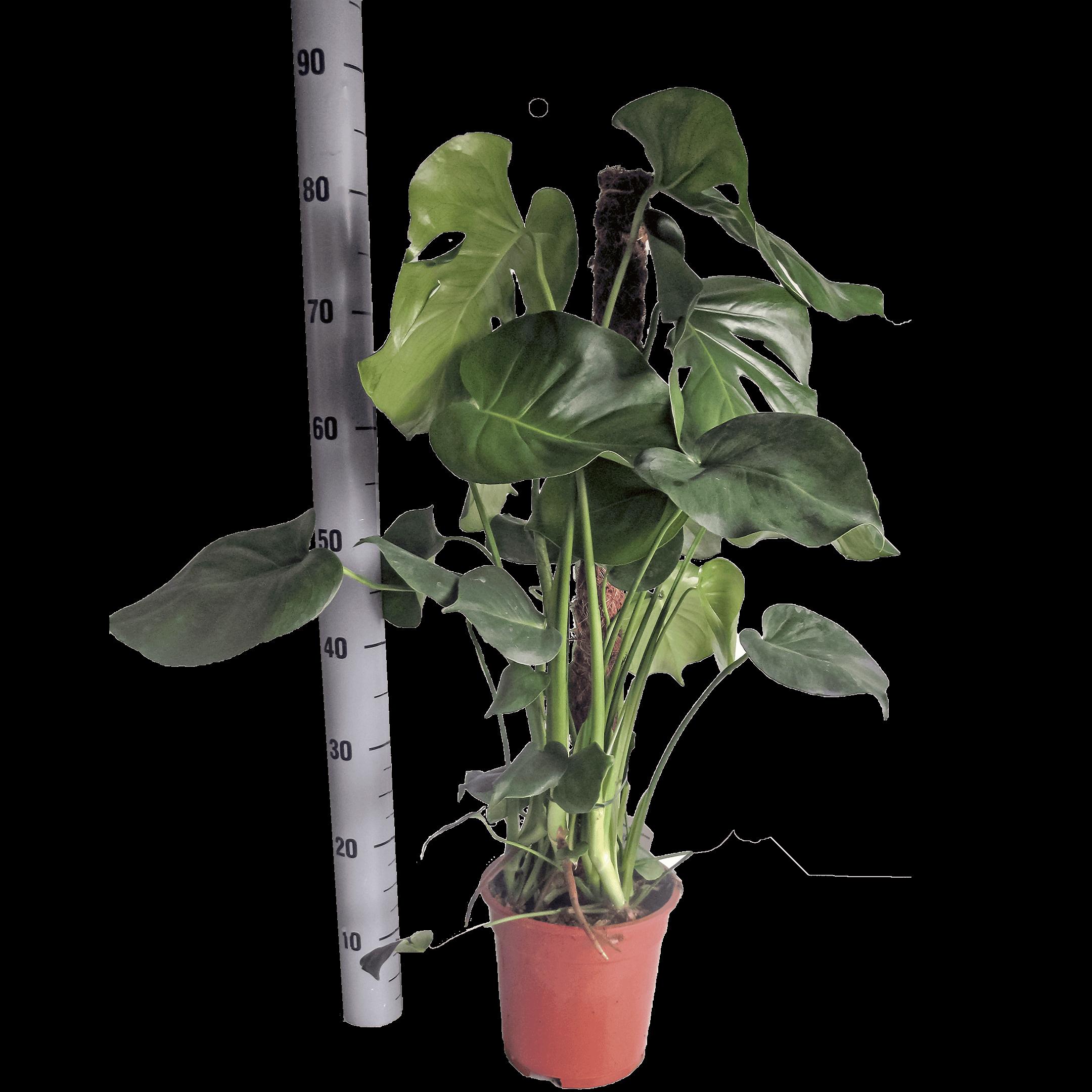 Bild: Köstliches Fensterblatt (Topfmass 17 Zentimeter) Monstera deliciosa.