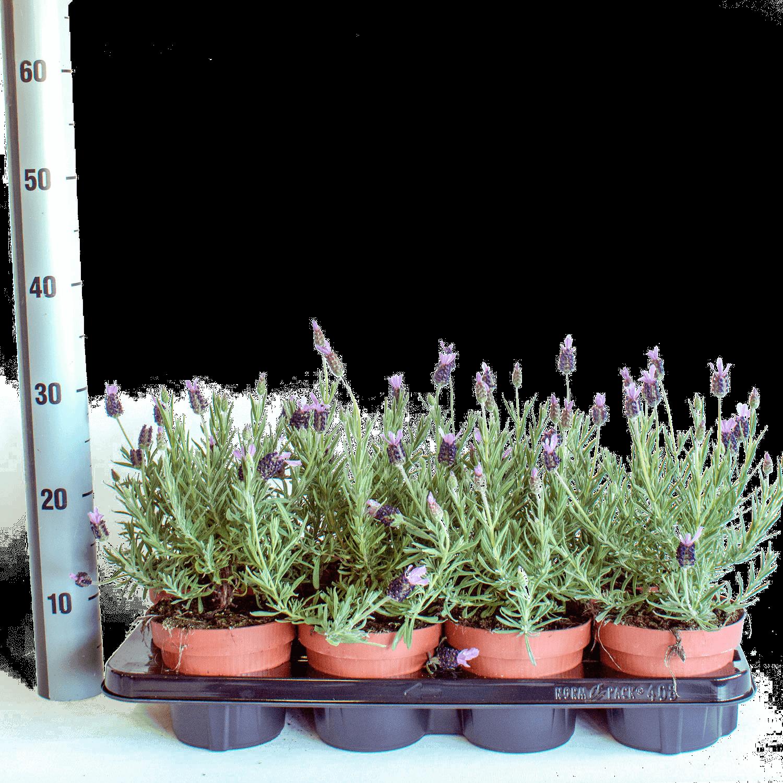 Bild: Lavendel topfmass 17 Zentimeter (Lavandula stoechas papillon).