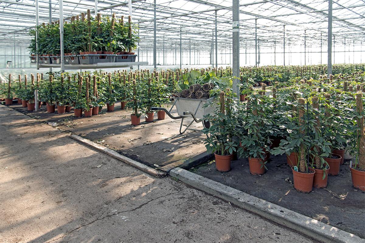 Bild: Schefflera arboricola Gold Capella und Compacta (Strahlenaralie) im Gewächshaus.